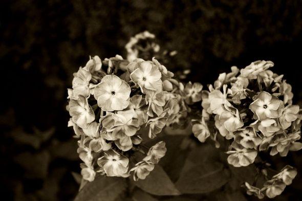 study - flower3 Antique B & W