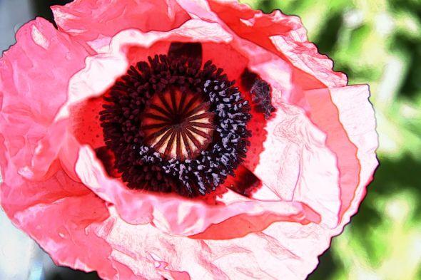 Poppy Heart 1