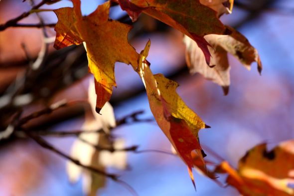 Fall Colour Leaf-2 Sept 2014 M5
