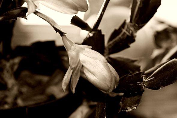 Cactus Flower  Antique Monohrome